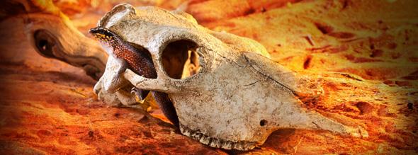 buffalo_skull